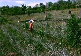 image - shifting cultivation in the Amazon